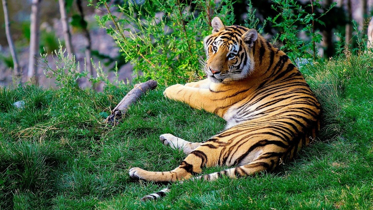 Tiger from Bengal