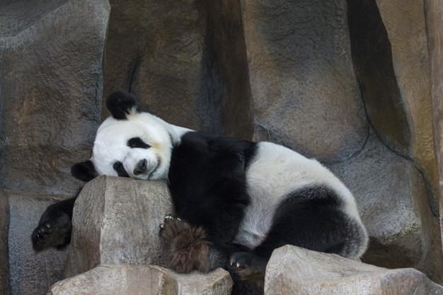 Giant Panda Sleeping