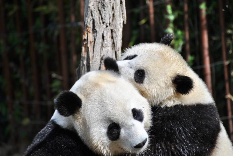 Giant panda couple
