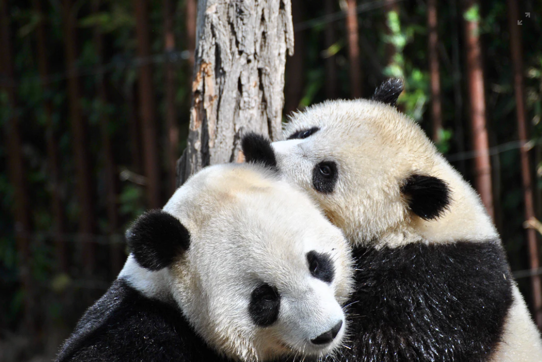Giant panda couple