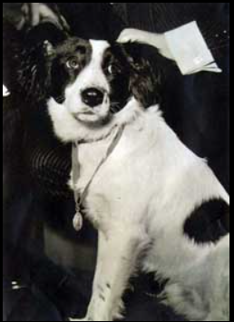 black and white collie dog